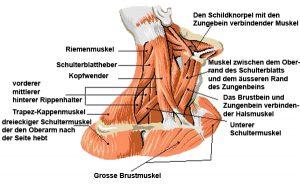 Halsmuskulatur
